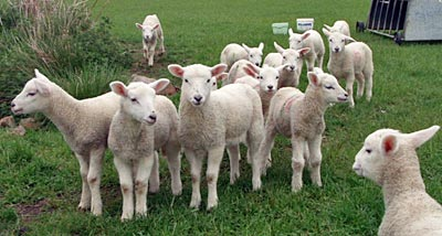 Roasted boned shoulder of lamb